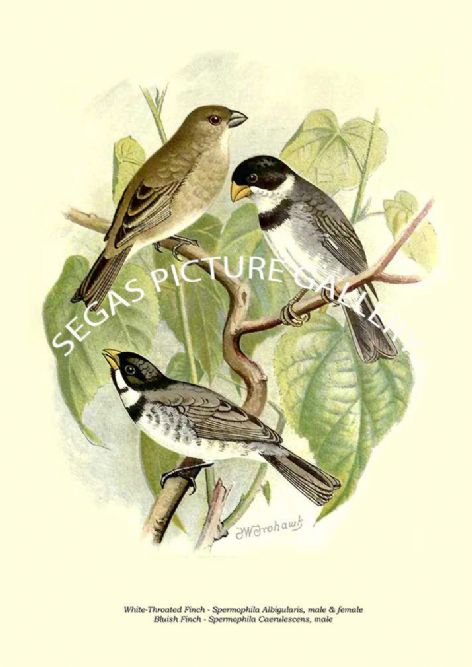 Fine art print of the White-Throated Finch - Spermophila Albigularis, Bluish Finch - Spermophila Caerulescens, male by the Artist Frederick William Frohawk (1899)